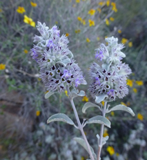 Aromatherapy Article Desert Lavender Hyptis Emoryi Essential Oil